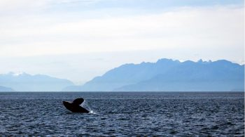 Watch the whales, now from land