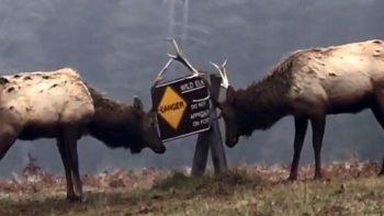 Wild elk demolish wild elk sign