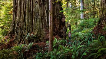Coast redwoods are the real giant sequoias